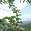 摘果してまーす。