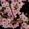 近所の公園に桜が咲き乱れていると聞きつけた!!  どう考えても現場に直行した。