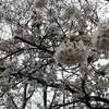 桜祭り 一日目。