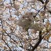 江波山公園に咲きます「ヒロシマエバヤマザクラ(広島市天然記念物に指定されています)」満開です。