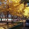 川越水上公園と関越のあいだにイチョウ並木