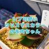たにログ080 【シブ可愛い】クリスマスカラーの多肉ちゃん7選