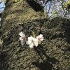 上州桜巡り~発知の彼岸桜、下馬の枝垂れ桜、謙信の逆さ桜