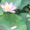 蓮の花 (((o(*゚▽゚*)o)))