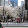 今年も桜を楽しめた その2