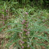 葉があちらこちらに飛び出す変わった植物 メハジキ
