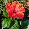 ハイビスカスとネットで調べても名前が分からない花と肉球。