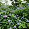 初夏の京都府立植物園。あじさい見頃。