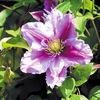 今日の誕生花「クレマチス=カザグルマ=テッセン」見分け方がわからない代表の花!