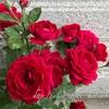 "【庭】Rosa.min "" Bordeaux Kordana """