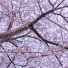 桜撮影記② & Lightroomの疑問