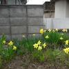 ようやく水仙が咲きました。