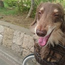 老犬ミニチュアダックスと虚弱な私の日々
