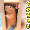 【ハムスター 動画】ハムスターを階段に閉じ込めた結果、全力であばれだす!When hamsters are locked in, it goes crazy!