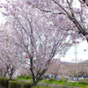 桜・・・  平田川・芹川・彦根城