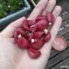 第2次にんにく(遠州極早生)収穫と、第1次収穫にんにくの味と臭いと色変化
