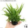 (水草)ハニカムシェルター 寄せ植えミックス Ver. ミクロソリウム(1個) 北海道航空便要保温