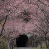 新城長篠の河津桜(3/5)