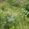 謎のフサフサ白花の木の名前判明!と赤くなったスグリの実