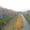 南浅川橋から見たさくら