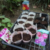 百日草、千日紅、朝顔の種子を蒔く