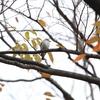 オオタカ・コサメビタキ・ハイタカ (大阪城野鳥探鳥 20201128 6:10-12:40)