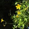 サツマイモ栽培(土の発酵材使用)・・・ 苗植え付け用法、苗の発根、ツル返し、試し掘り、収穫、保存