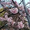 桜 が  咲いていました