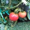 トマトがたくさん!