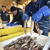 昨年は記録的不漁…スルメイカ、函館で初水揚げ