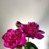 芍薬の上手な咲かせ方と、花屋で選ぶ際のポイント