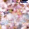 大岡川の桜 EF65(8584レ)