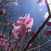 鎌ヶ岳 晴天の桃色回廊   H20.04.20 晴れ
