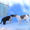 モロッコ旅行記(3):青い街 シェフシャウエンの猫たち