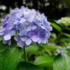 マイクロフォーサーズ用レンズ パナソニック ライカ DG SUMMILUX 15mm/F1.7 (H-X015-K) の作例。梅雨の紫陽花@上野公園