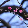 ウメ,紅梅,Plum Blossom