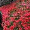 この赤い花 本当に不吉⁇