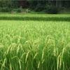 白米より玄米がいいの?