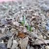 ほうれん草とベビーリーフMIX、ようやく発芽!