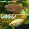 (熱帯魚)ゴールデンハニーレッド・ドワーフグラミー(3匹)+ロージー・テトラ(6匹) 北海道・九州航空便要保温