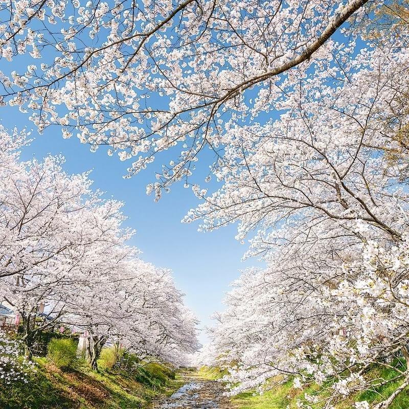【2021】密を避けたもうひとつの京都エリア穴場の桜〜散策・ドライブ編〜