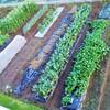 7月の菜園計画!サラダ甘長とうがらし収穫!