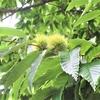 実りの秋 数ヶ月間栗の木を観察した結果・・・【写真あり】