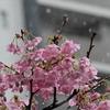 🌸⛄桜と雪の競演