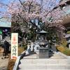 早咲きの安行桜『密蔵院』