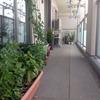 ベランダ菜園週報7月27日「空心菜の種を蒔きました。」