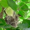 ヤマボウシに小鳥の巣が‼︎