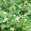 梅雨時の野草のお花畑(6月)