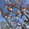 「マダム倶楽部」活動報告 桜を愛でながらのウォーキング♪ 4月1日