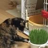 ねこ里親日記【40日目】猫草大好き!